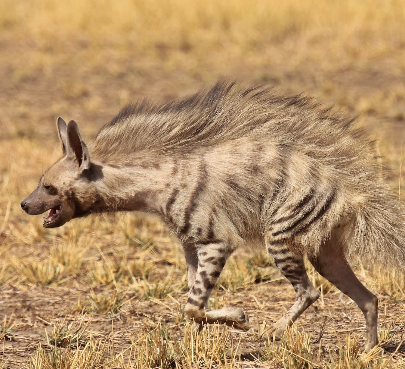 Not the Witch's Steed: Why the Hyena is India's Most Misunderstood Predator