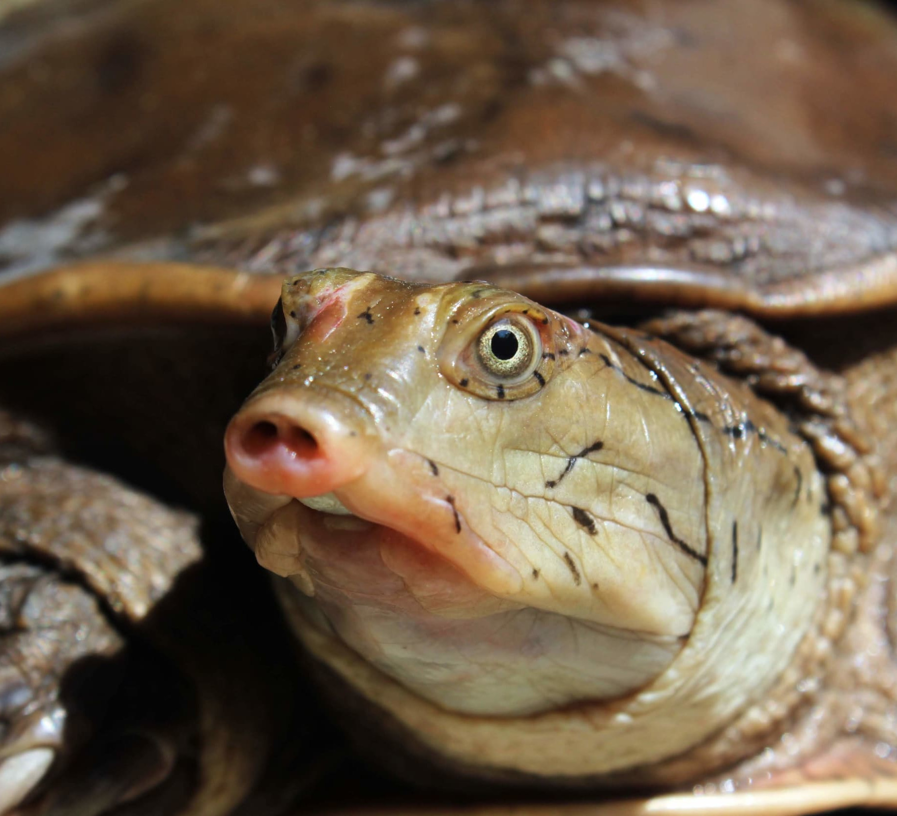 Predator in the Pond: Indian Flapshell Turtle