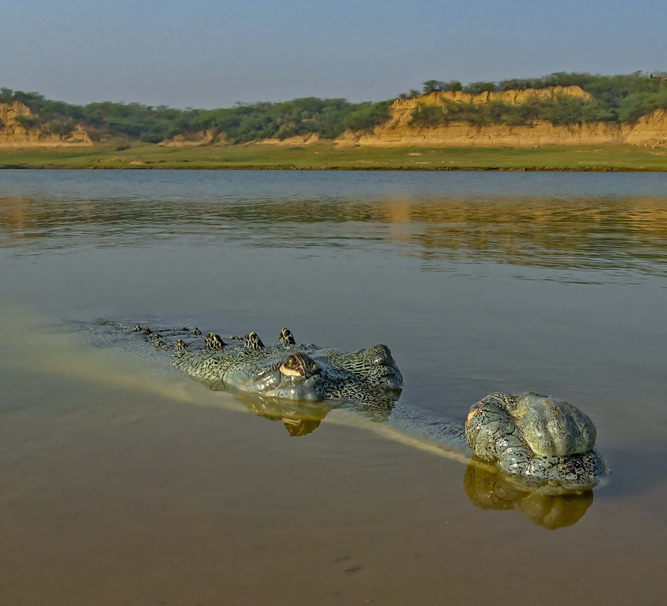Gaping Gharials: River Reptile with the Super Snout