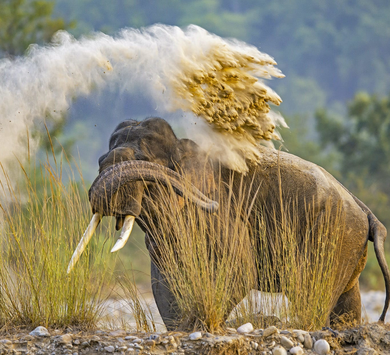 Dominance Effect: The Dynamic Social Lives of Male Elephants