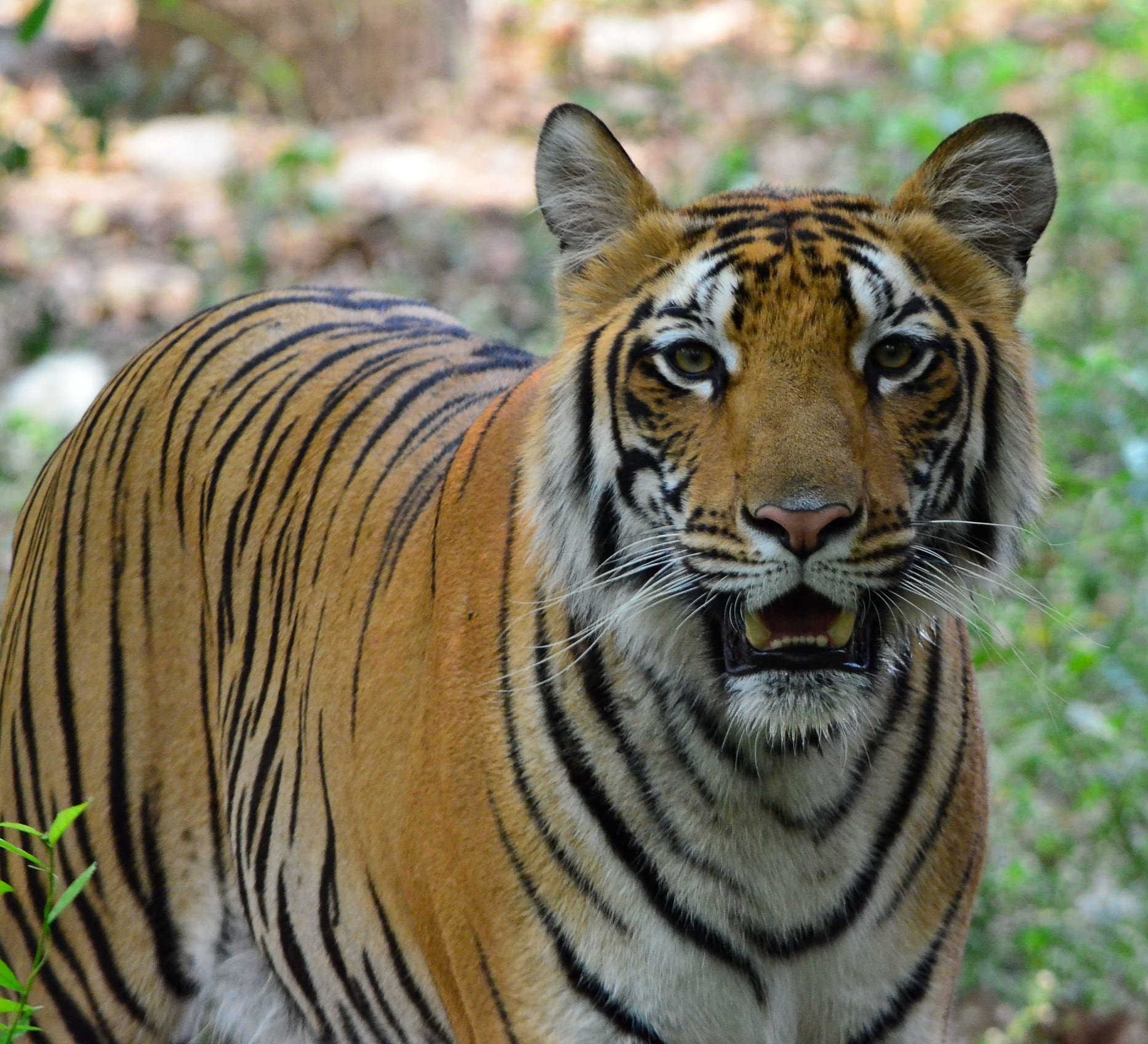 Chhattisgarh next tiger reserve – Bhoramdeo or Guru Ghasidas?