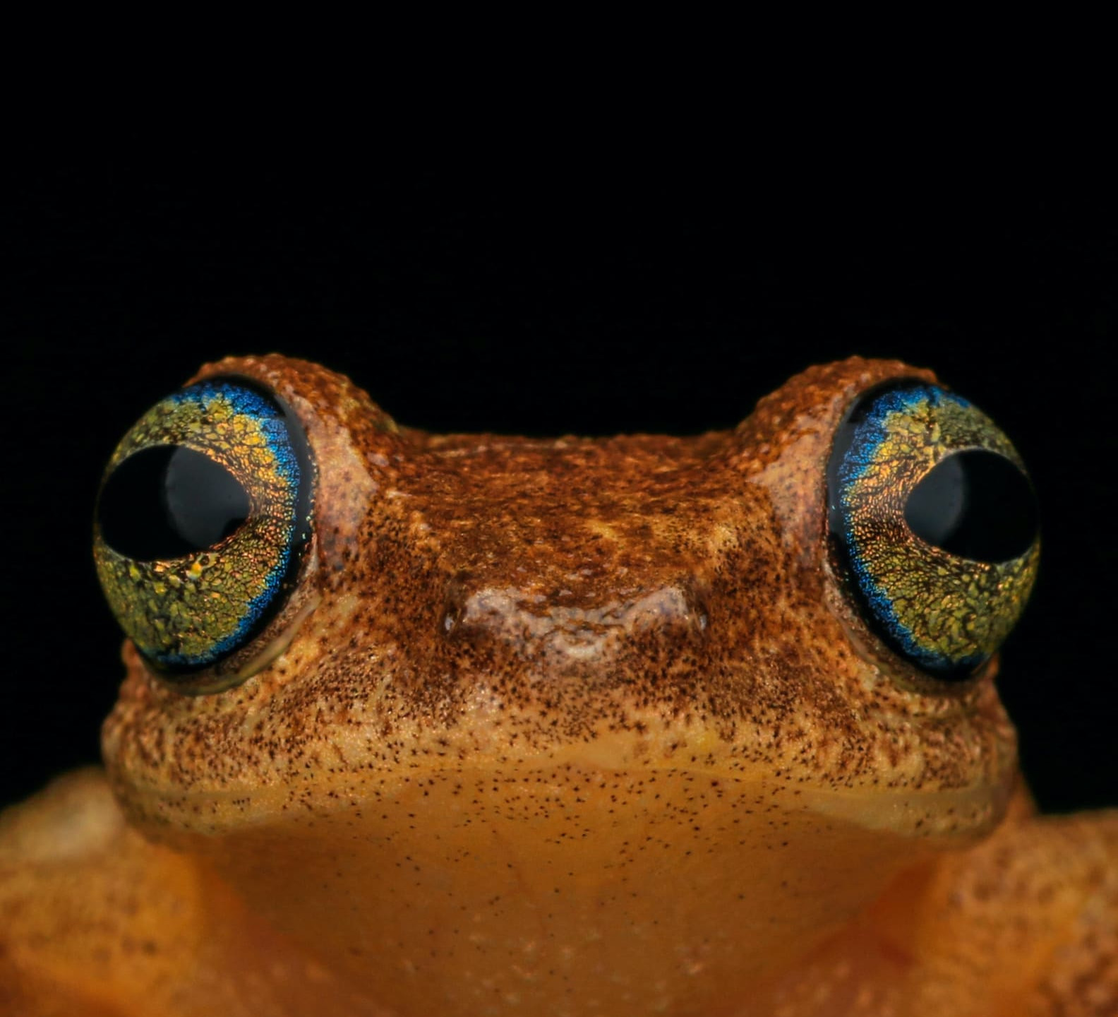 Finding Philautus: Bush Frogs in the Western Ghats
