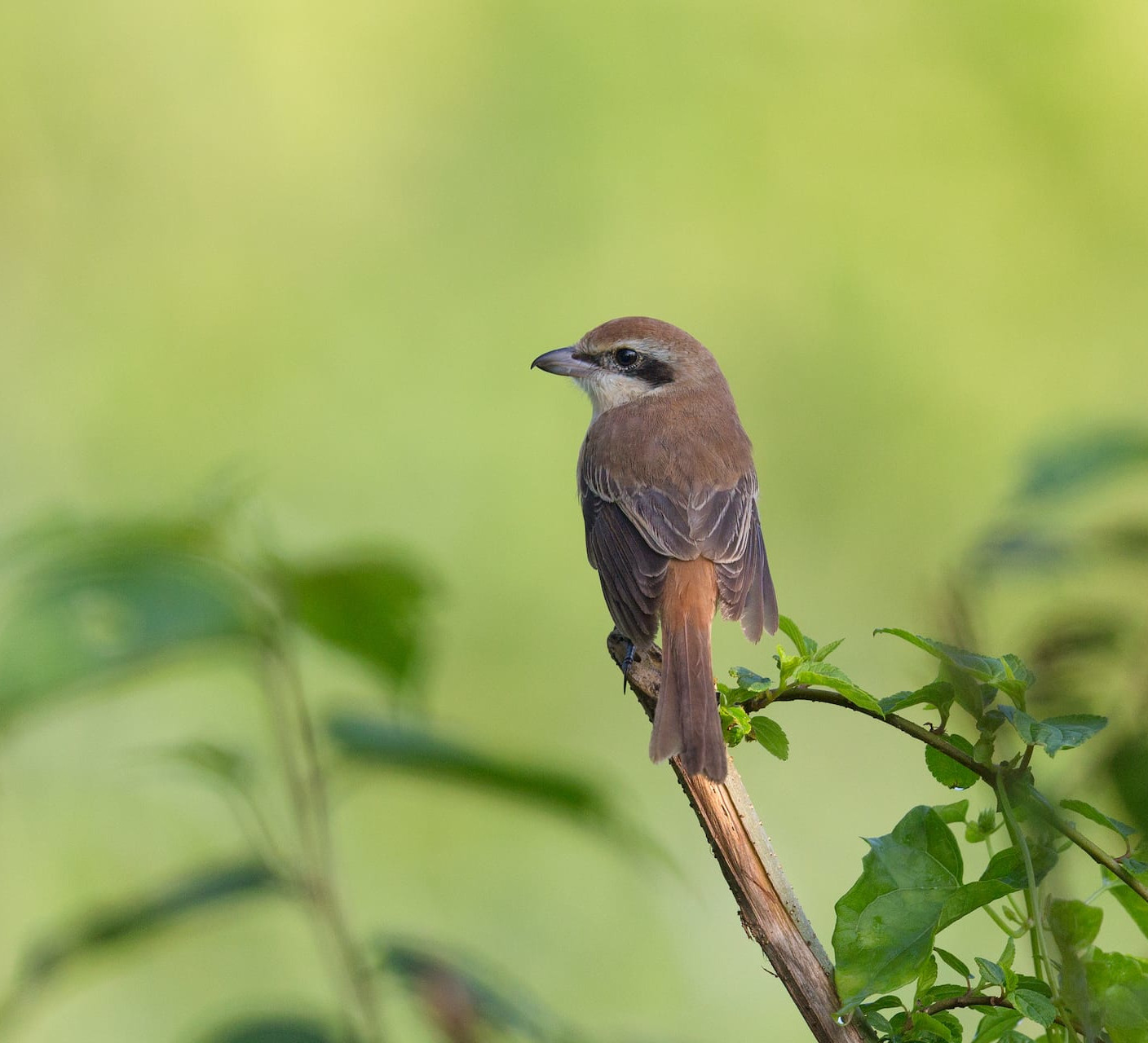 Sticking Point: Bewitched by the Brown Shrike