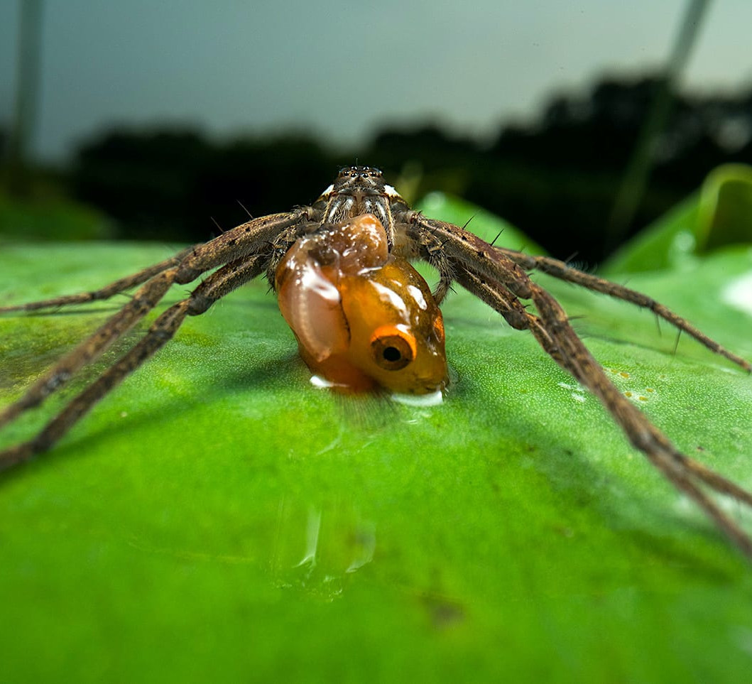 Fishing Spiders: Riders of the Swamp
