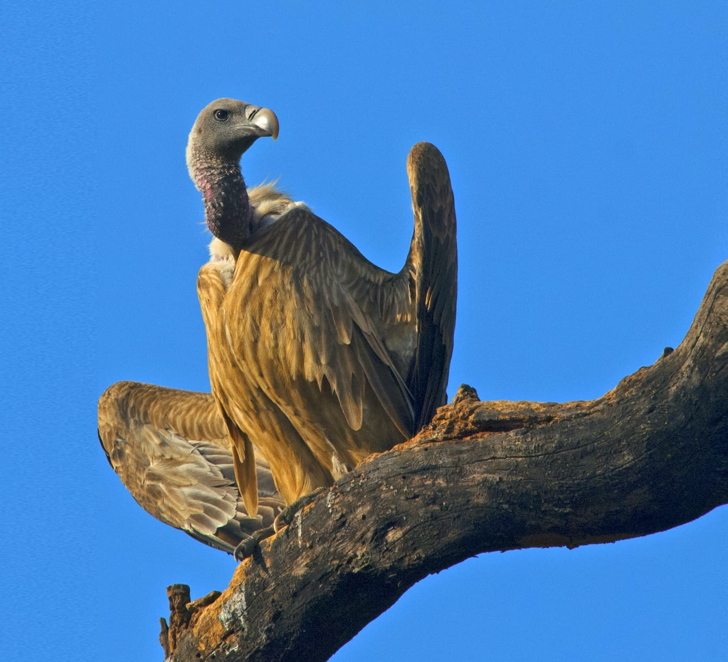 Dizzying Decline of the Indian Vulture