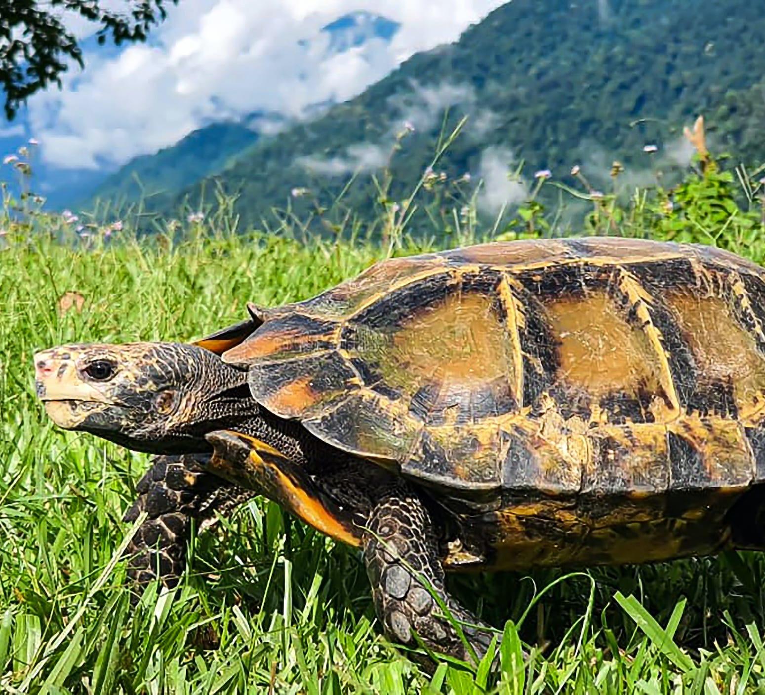 A Hidden Life: The Impressed Tortoise in Central Arunachal Pradesh