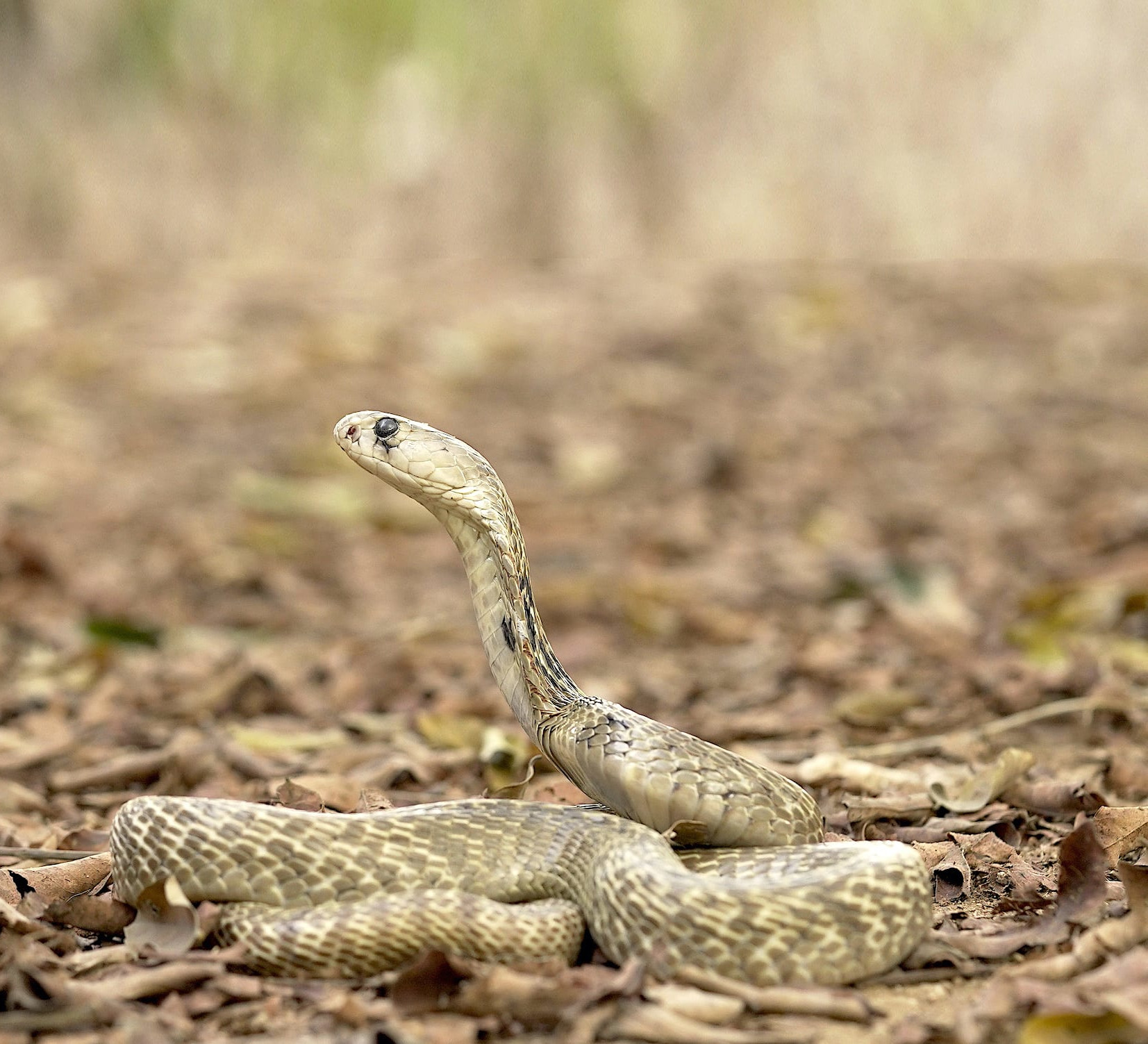 Spectacled Cobra: An Unwilling Icon