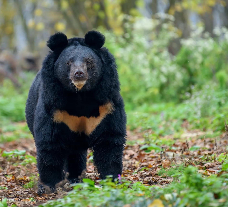 Poaching Threatens Asiatic Black Bear in Arunachal Pradesh