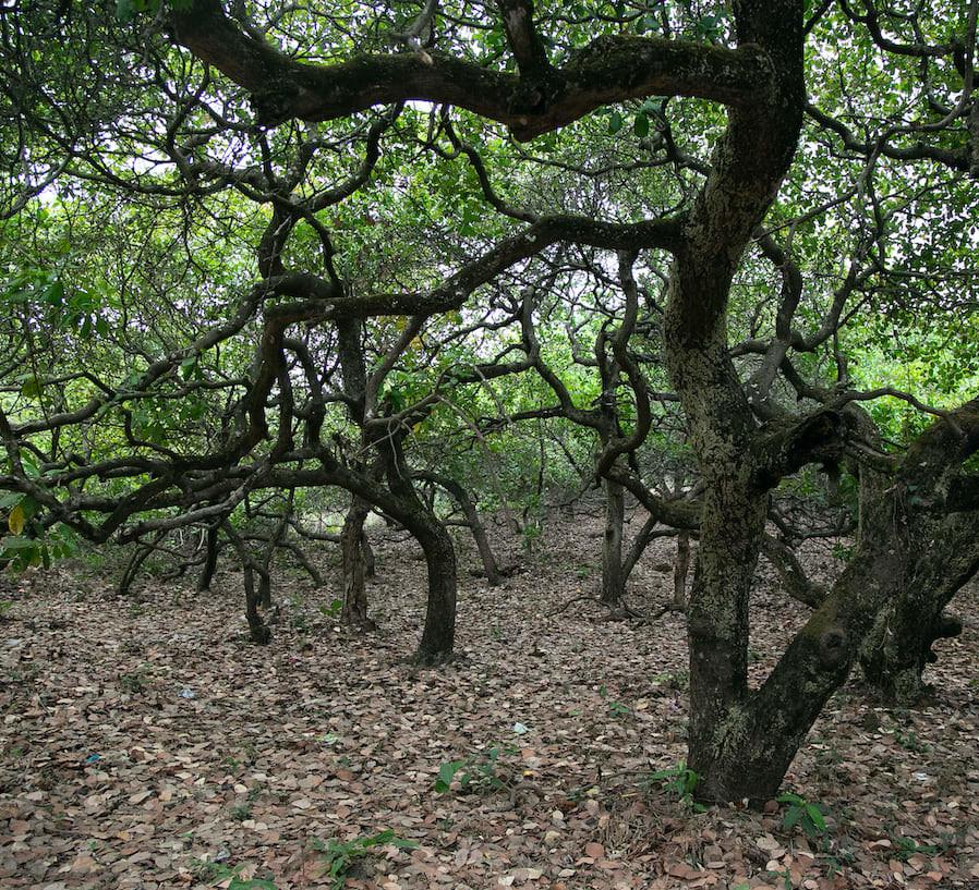 Sindhudurg's Cashew Nut Plantations Offer Refuge to Wild Mammals