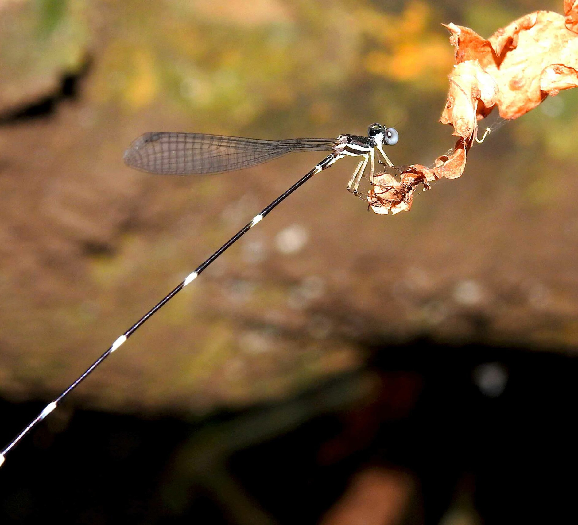 Blue-necked Reedtail: The Mysterious Damselfly
