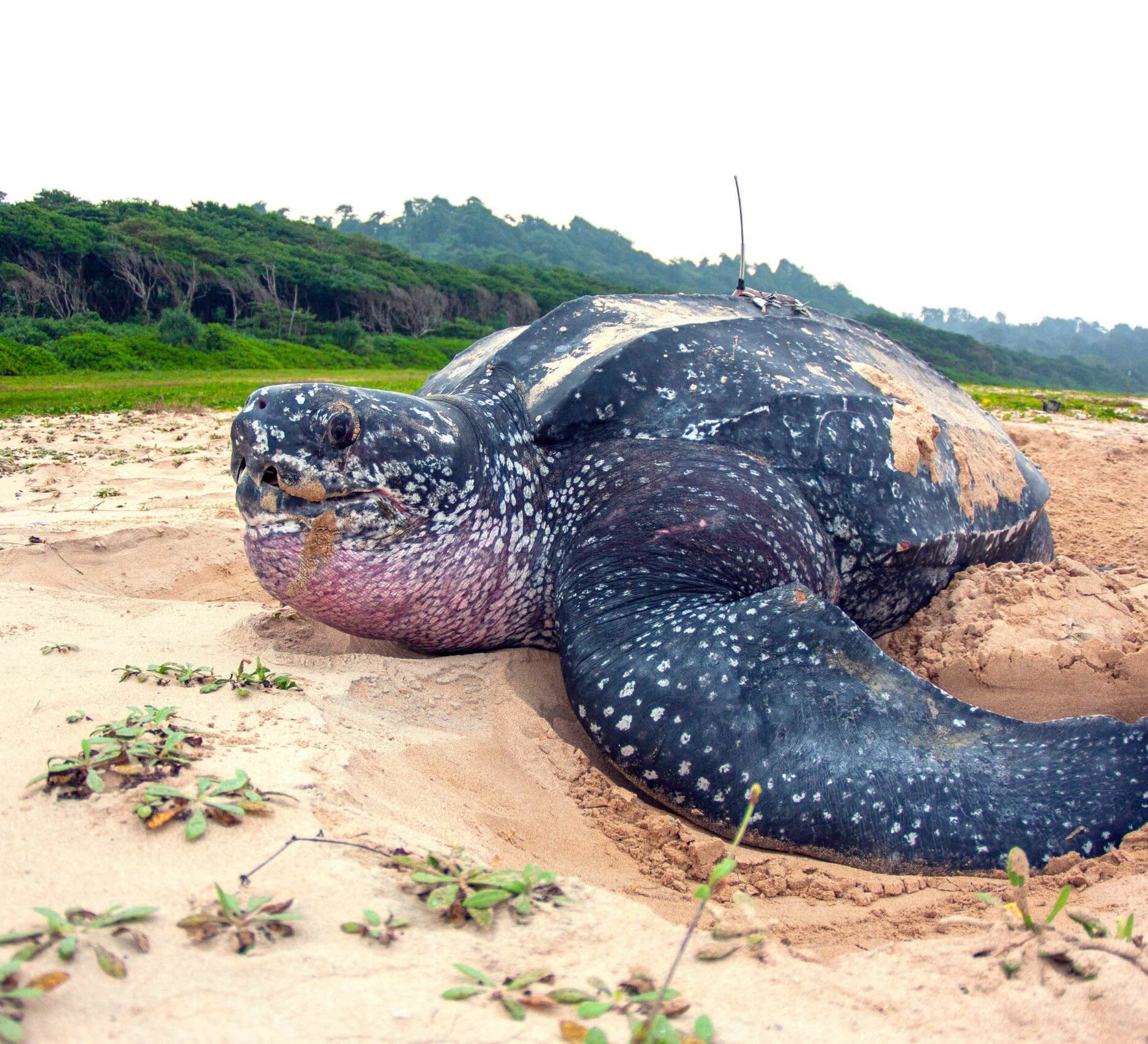 Leatherback Sea Turtles: Giants of Andaman and Nicobar Islands
