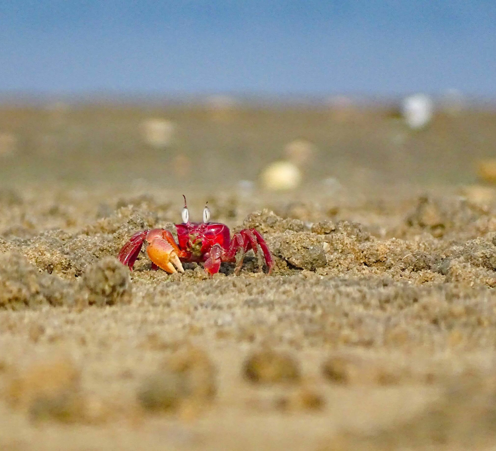 Sand Scavengers: Ghost Crabs in the Intertidal Zone of Chennai's Elliot's Beach