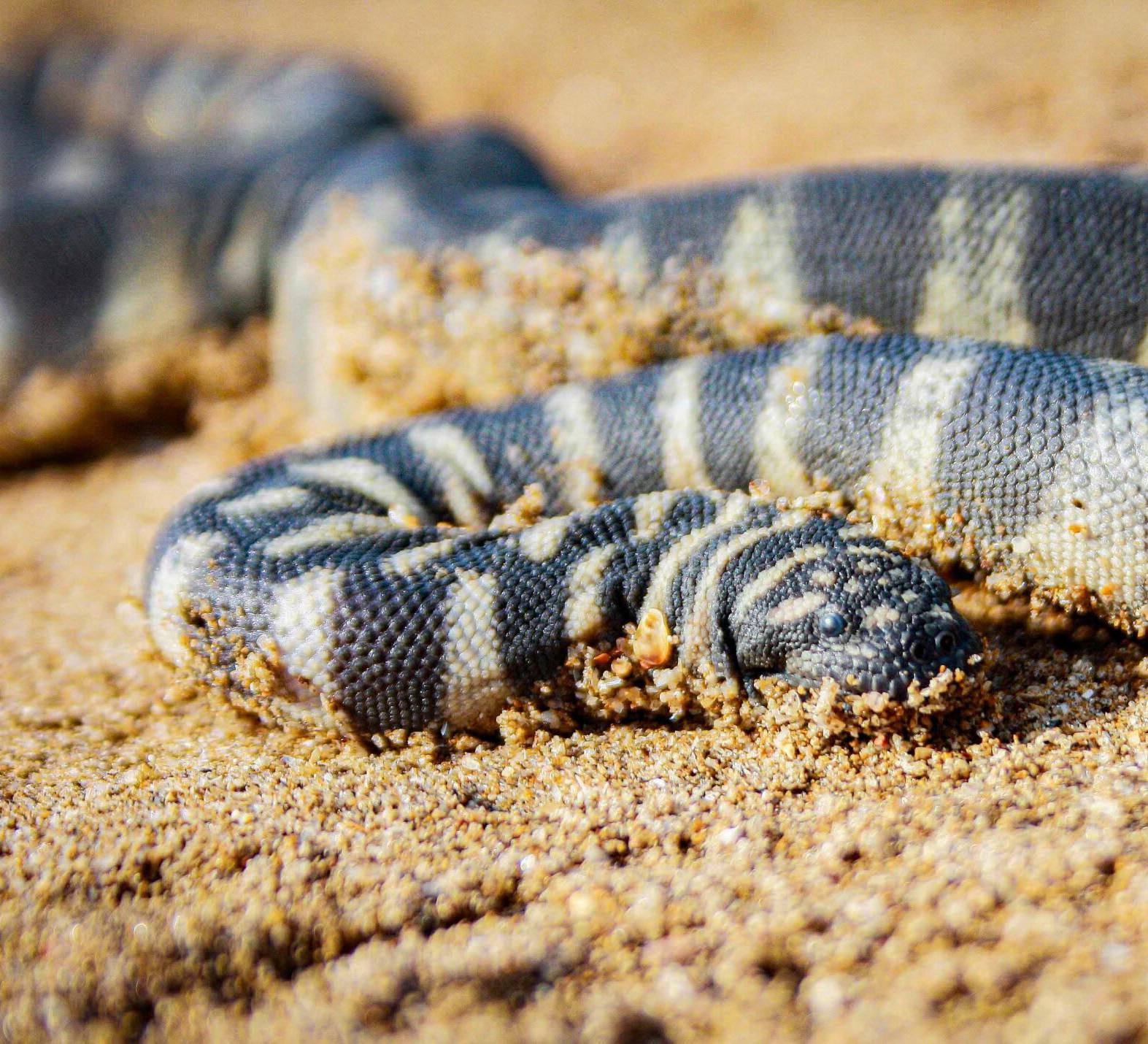 Little File Snake: The Silent Predator