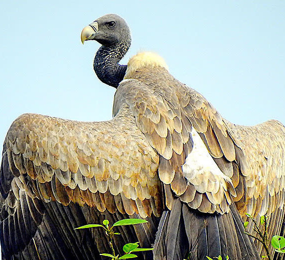 Chirgaon Leads the Way in Vulture Conservation
