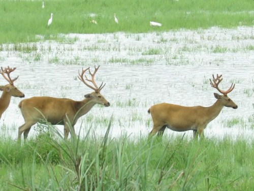 Stag Party: The Eastern Swamp Deer's Bachelor Life