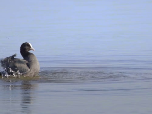 Black Magic: Common Coots and their Vacation in Rajasthan's Wetlands