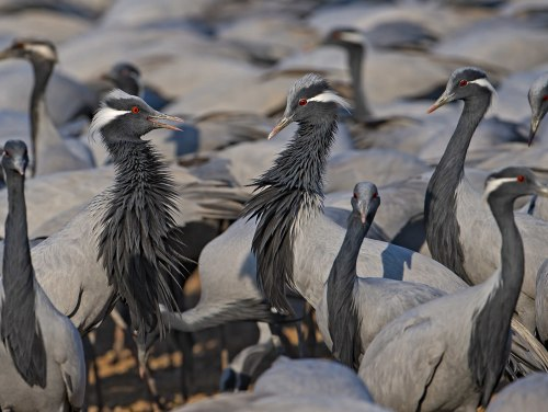Why the World's Smallest Crane Flocks to a Dusty Village in Rajasthan