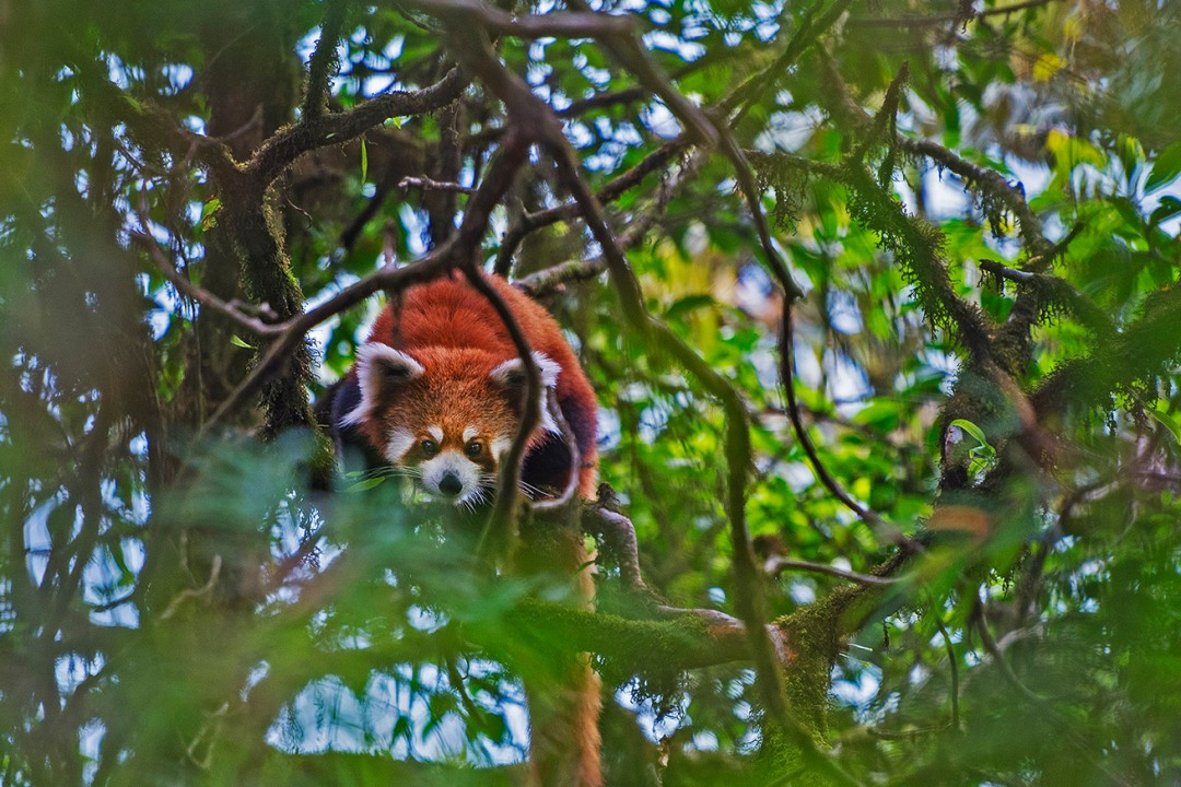 Red Panda: Facts, Lifespan and Behaviour