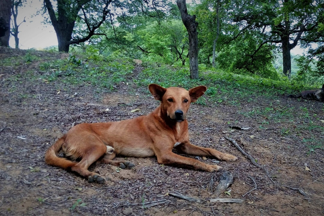 Hunter and Friend: The Indian Pariah Dog