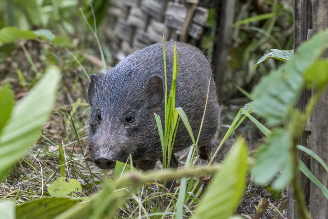 Pygmy Hog: Facts, Diet, Habitat