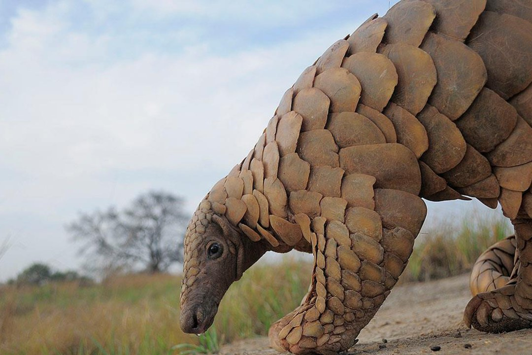 Indian Pangolin: Facts, Threats, Habitat, Diet