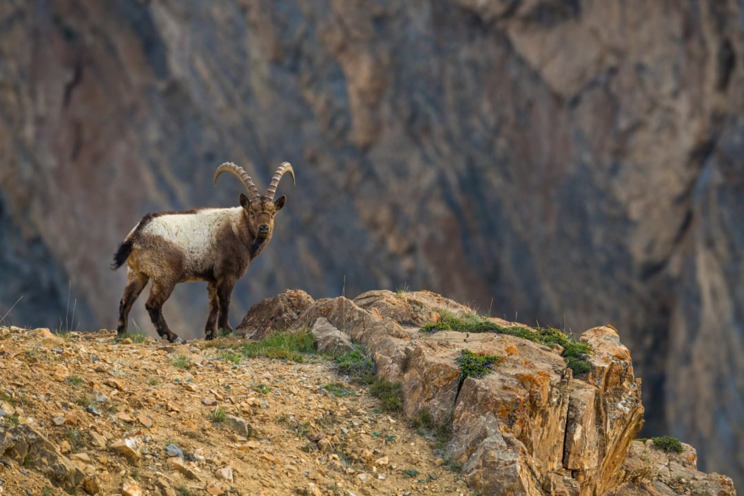 Asiatic Ibex
