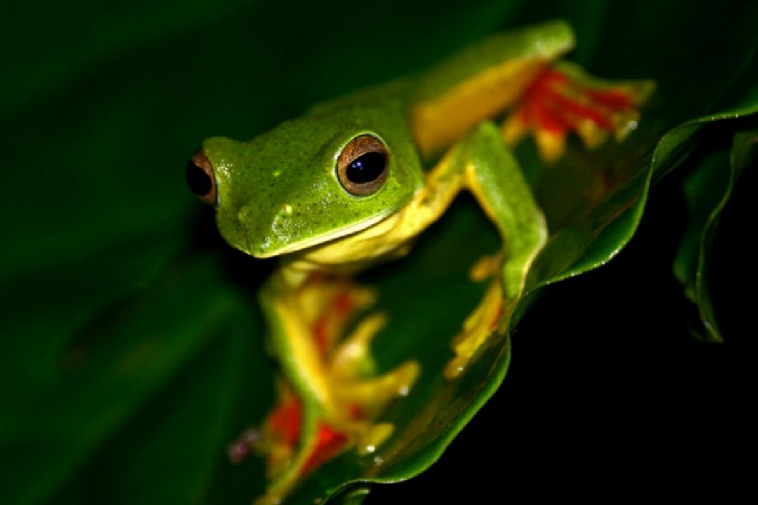 How Do Frogs Fly?