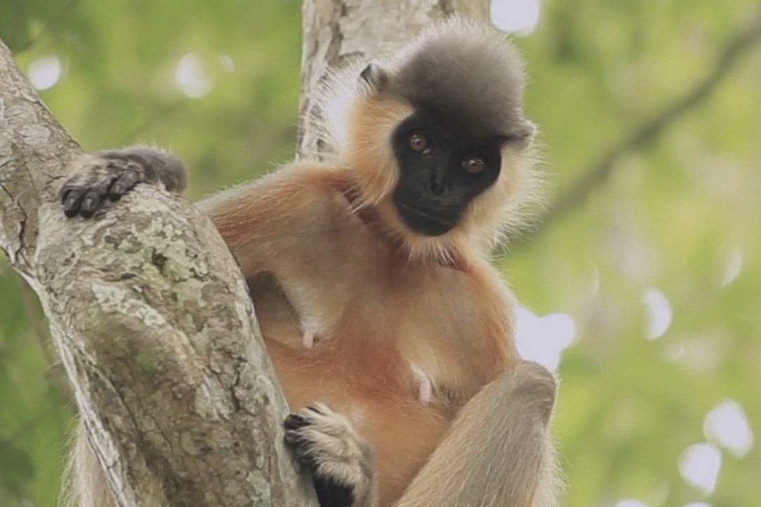 Capped Langur: Facts, diet, habitat