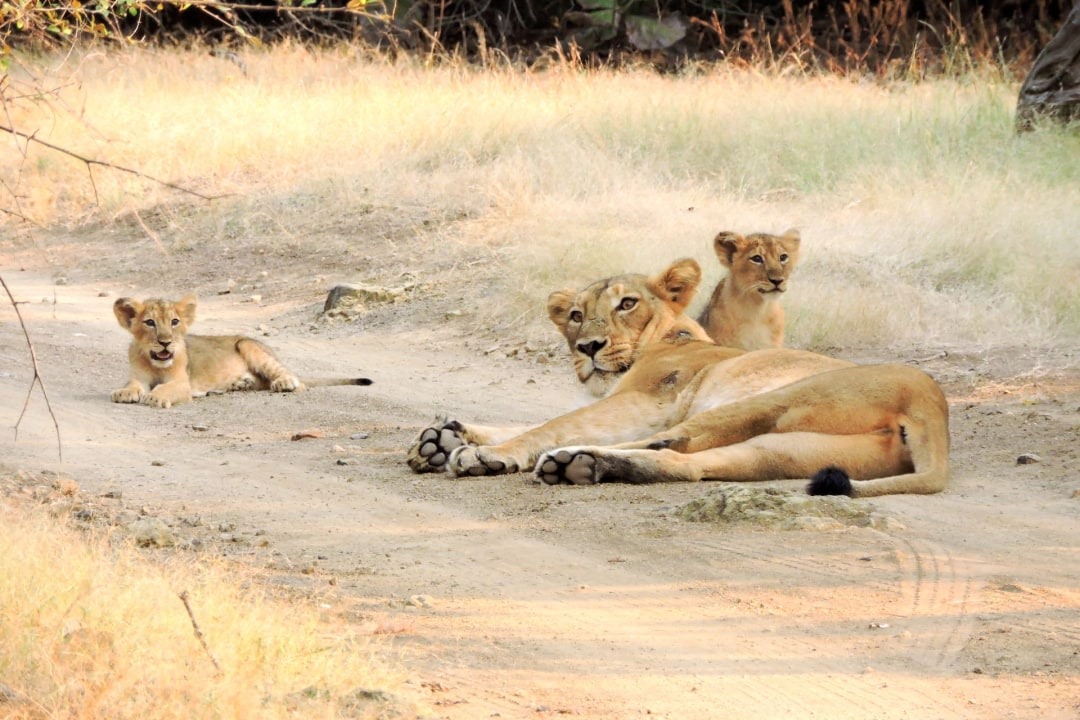 Kuno, India's second home for the Asiatic lion, is ready