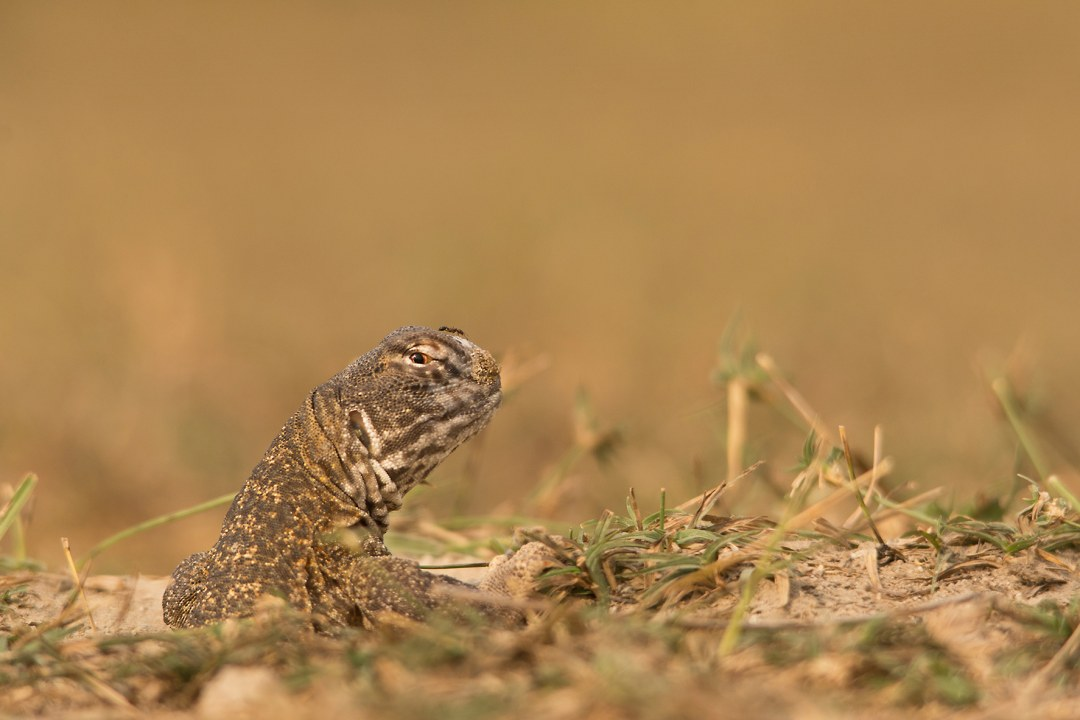 Spiny-tailed Lizard