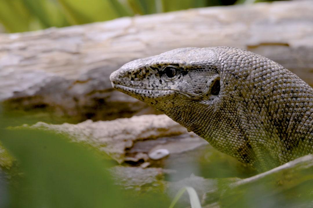 Common Monitor Lizard: Facts, Diet, Habitat