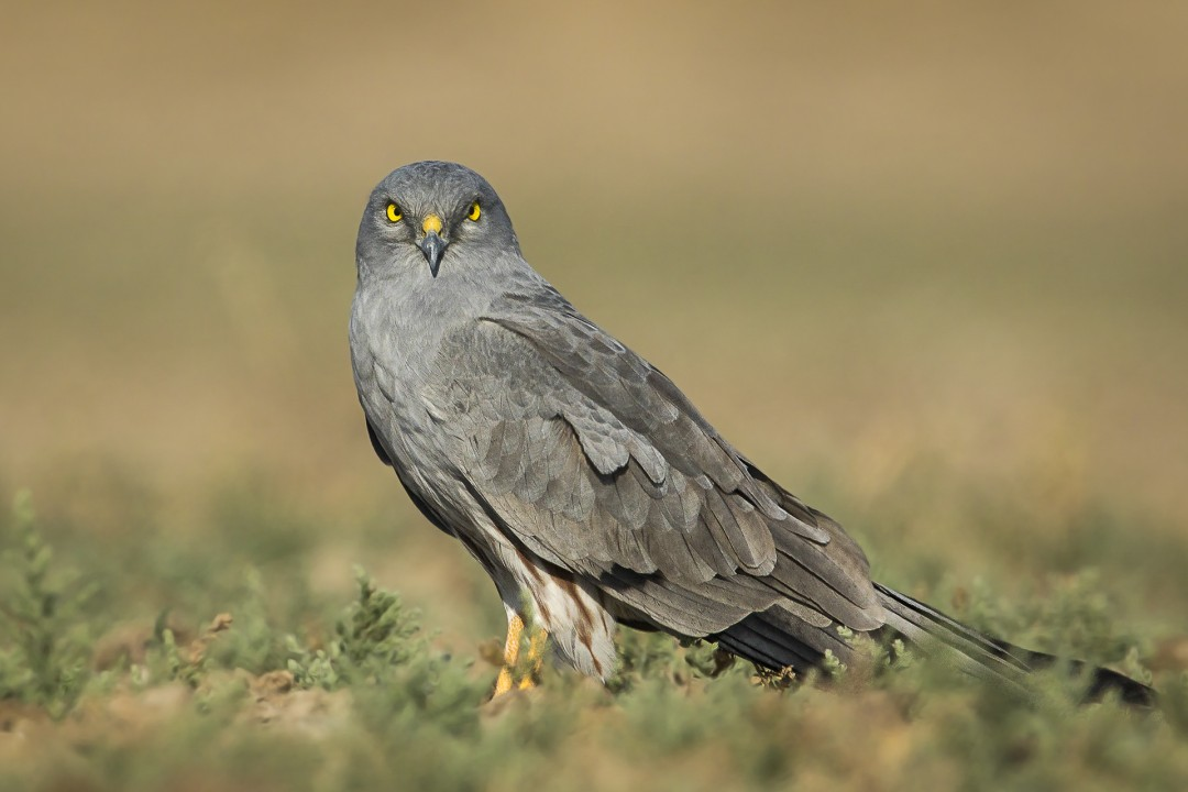 Montagu's Harrier: Facts, Diet, Habitat