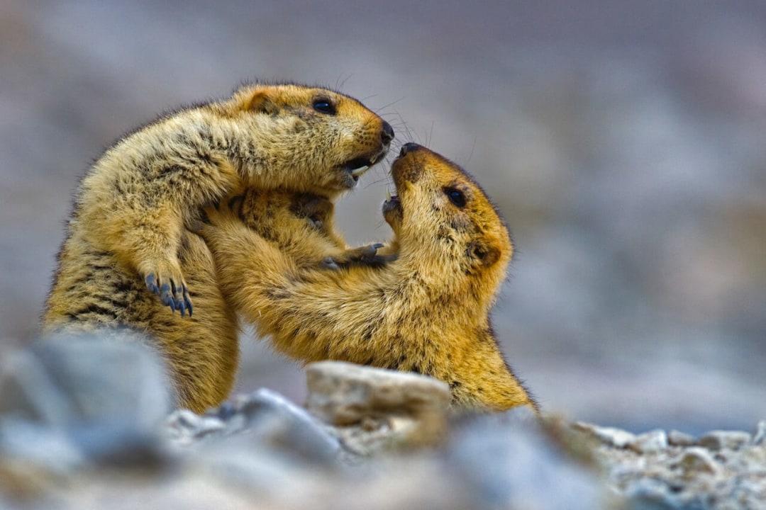 Burrow Down, Sleep Tight: The Fascinating Life of the Himalayan Marmot