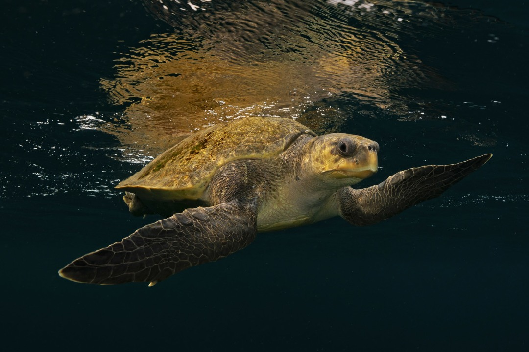 Olive Ridley Turtle: Facts, Diet, Habitat