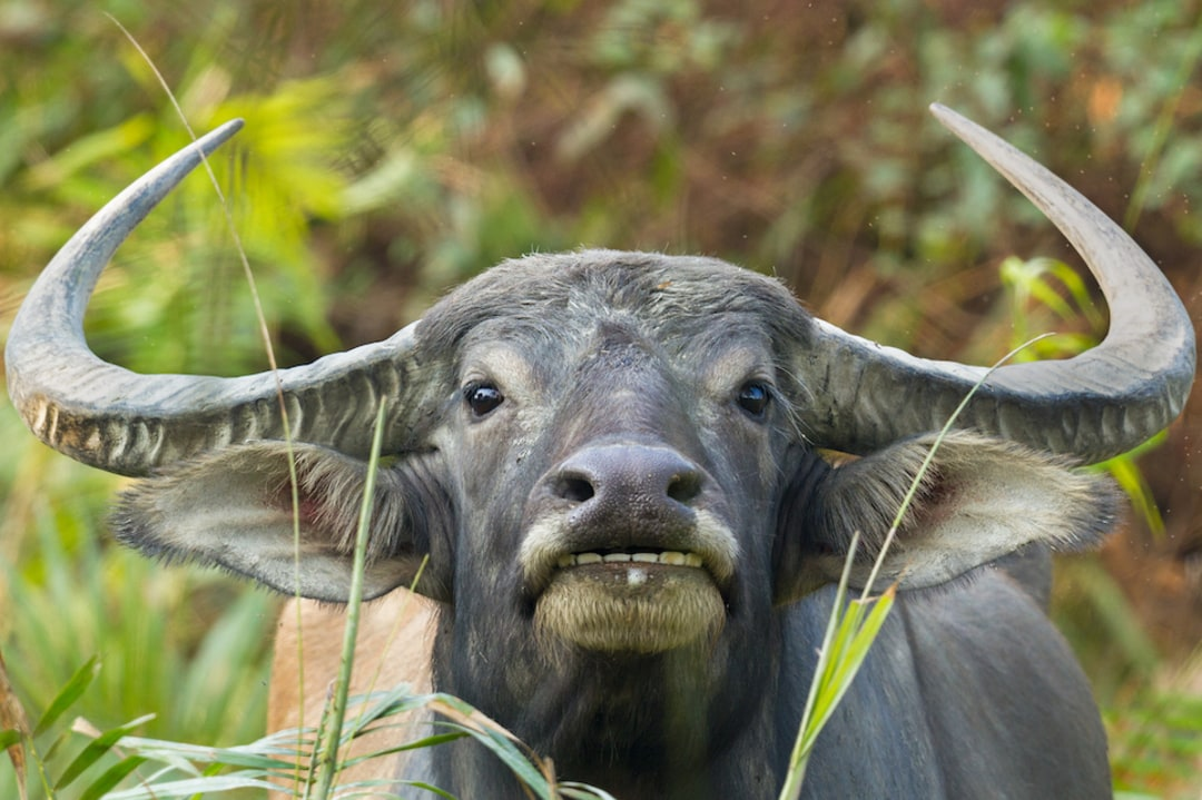 The Curious Incident of a Wild Water Buffalo in Panna
