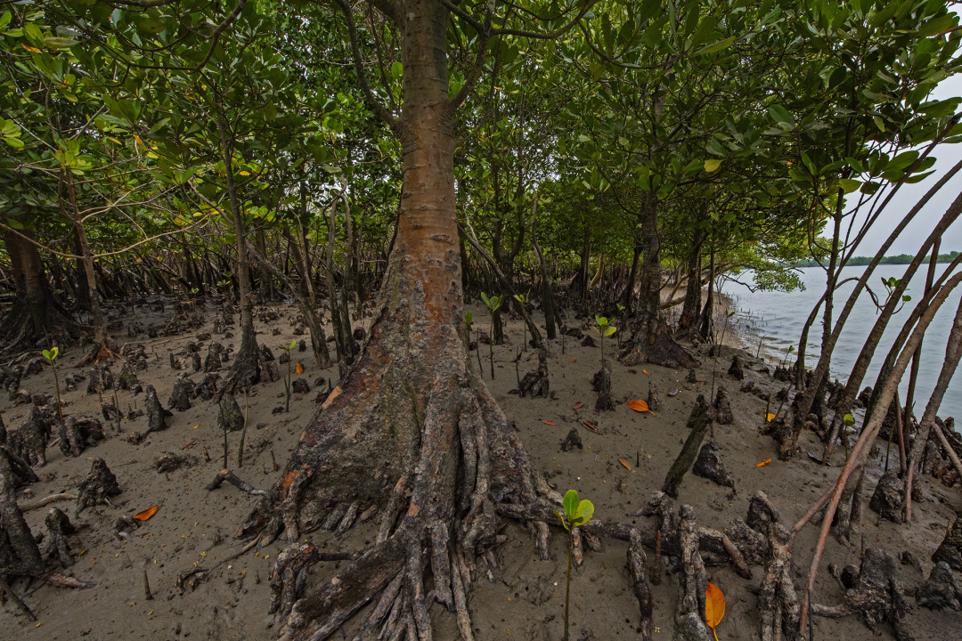 Roots of a Salt Forest: Mangroves as Coast Guards of the Sundarbans