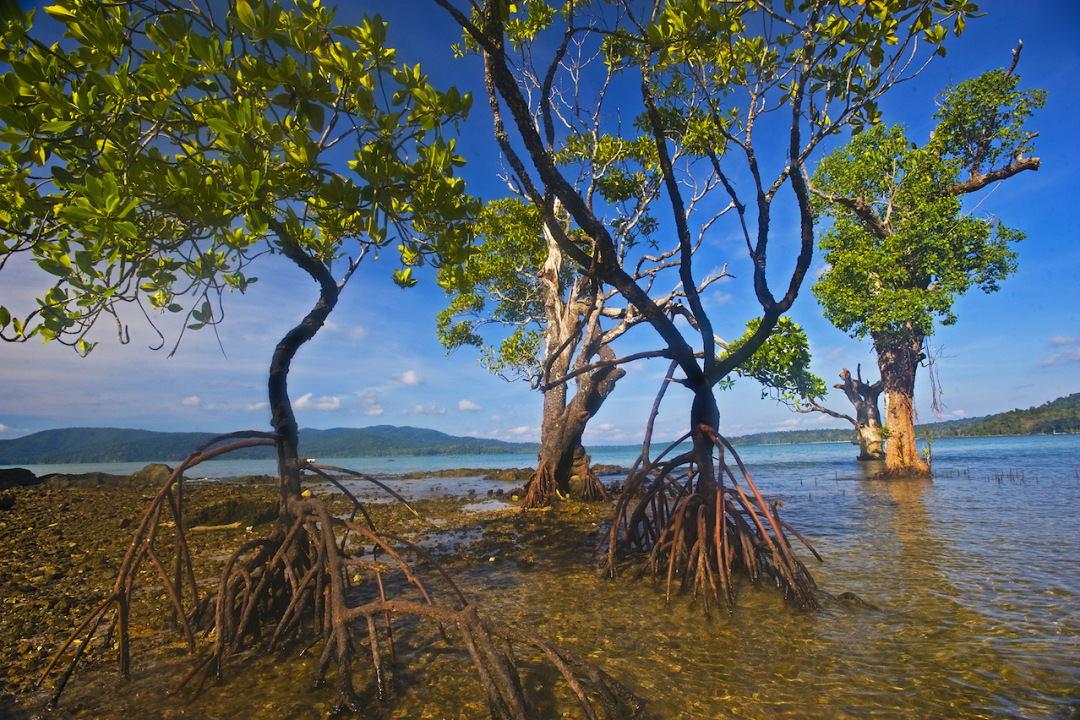 The Mangroves of Andaman Islands and Tamil Nadu