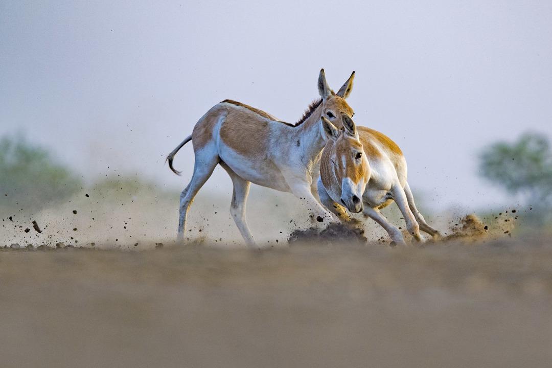 Indian Wild Ass: Facts, Habitats, Threats