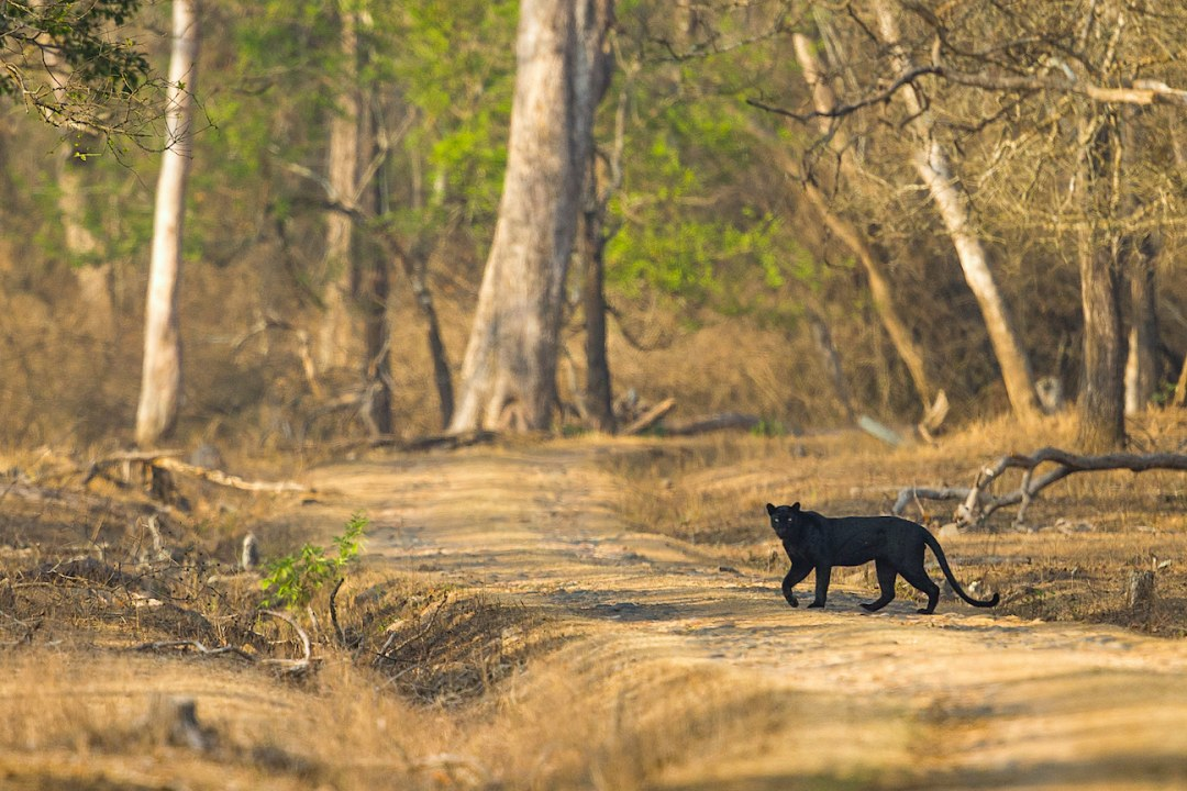 Fade to Black: When Big Cats Hide