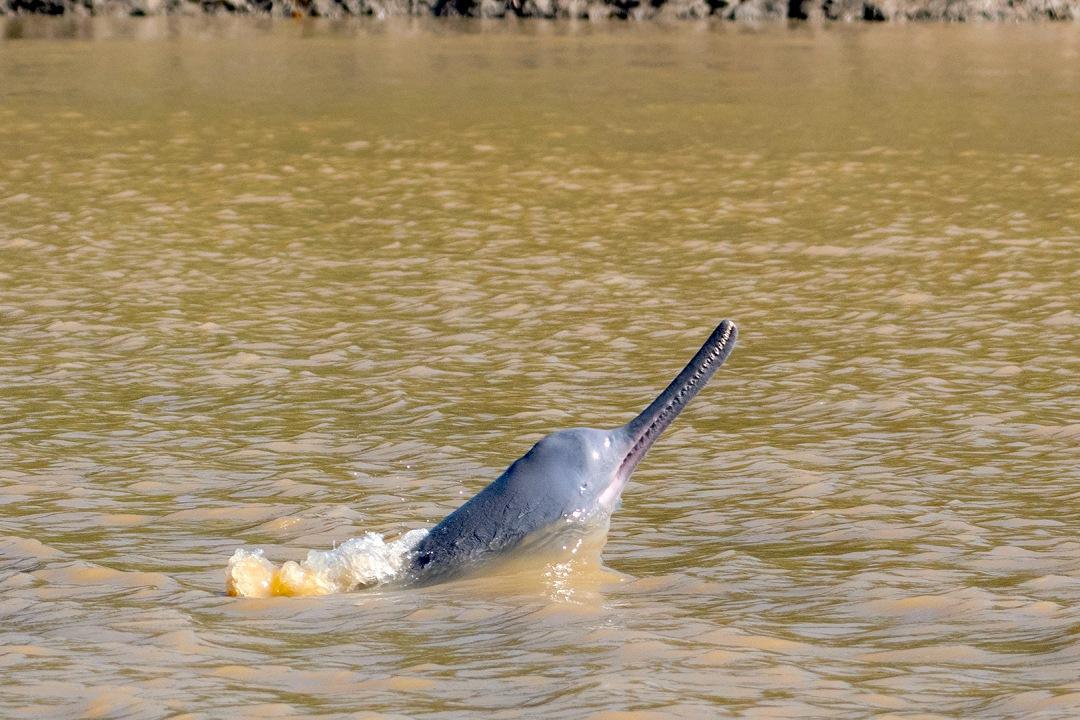 Ganges River Dolphin: Facts, Habitat, Threats