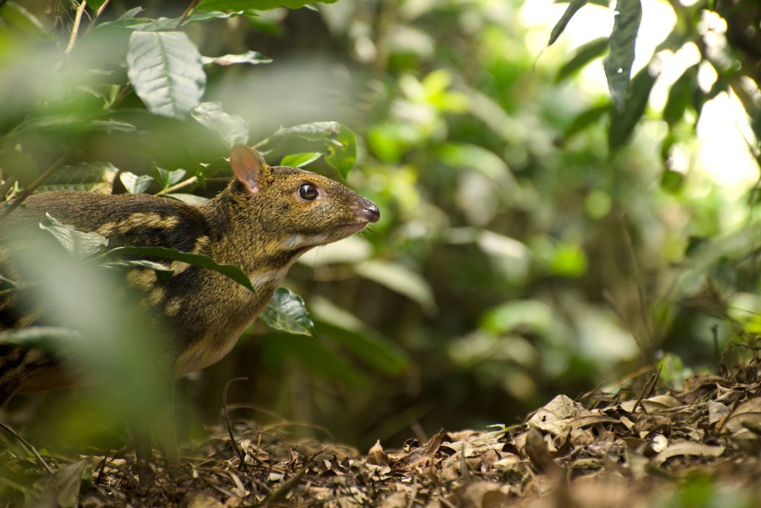 Secret Life of the Mouse Deer