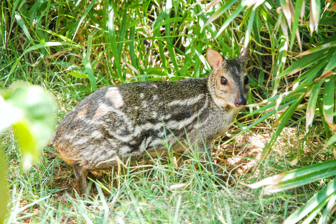 Indian Spotted Chevrotain: Facts, Diet, Habitat