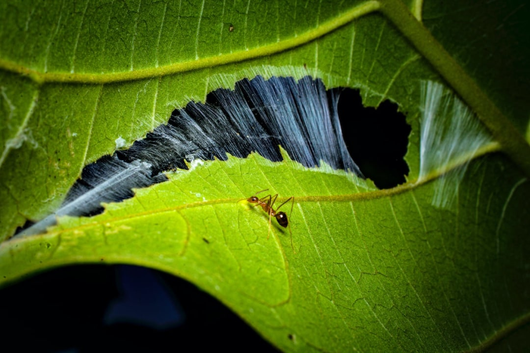 Weaver Ants: Leafy Kingdoms and New Empires