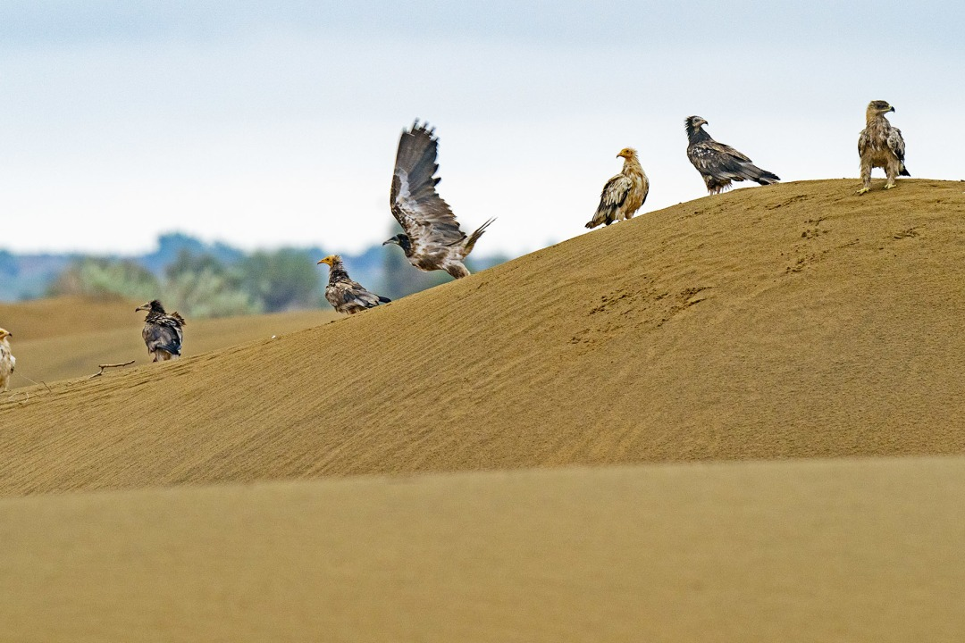Hunters of the Thar: Raptors in Desert National Park