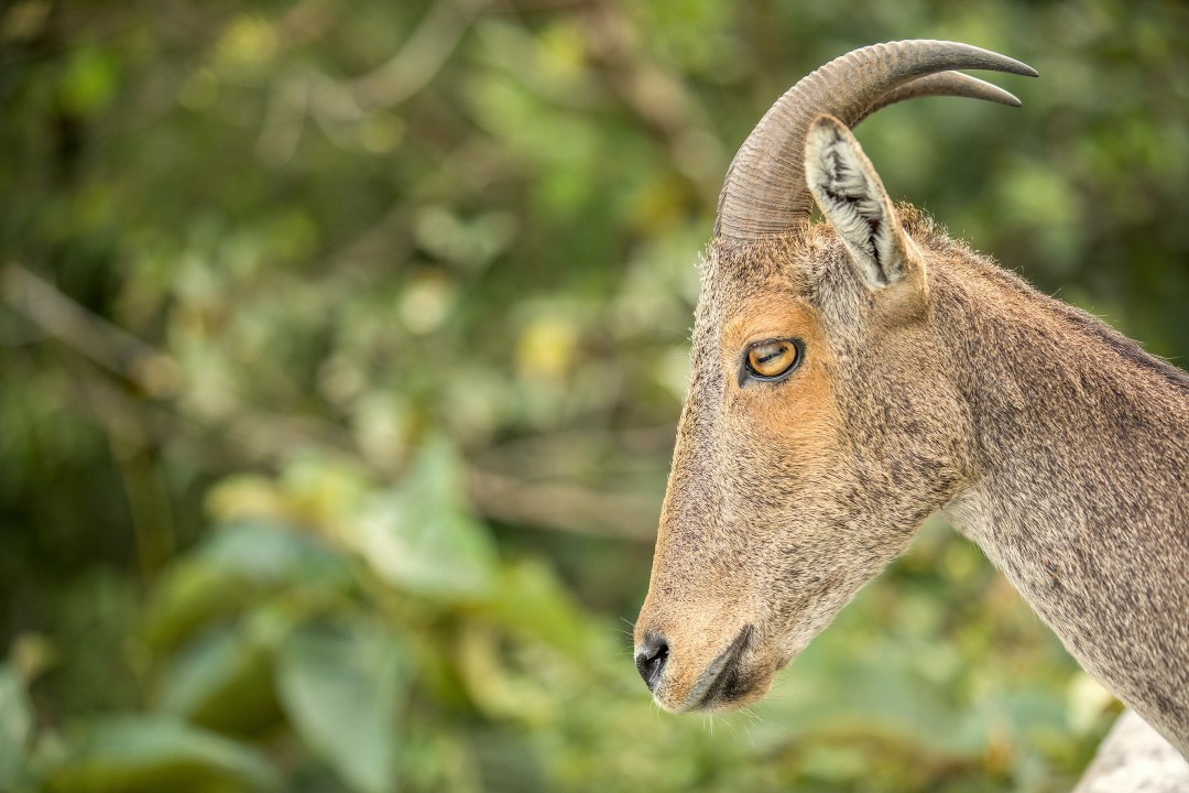 Clouds, Hills, and Sightings of the Nilgiri Tahr