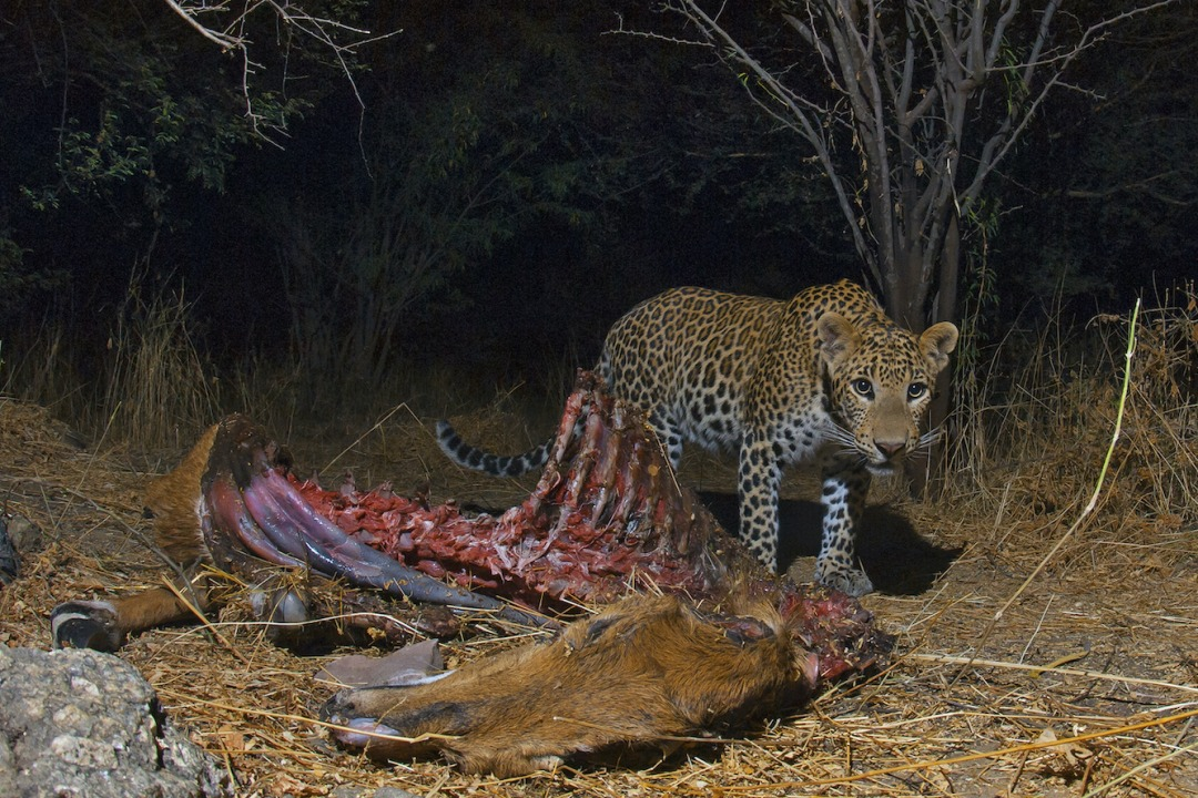 India Has Lost 75-90 per cent of its Leopard Population