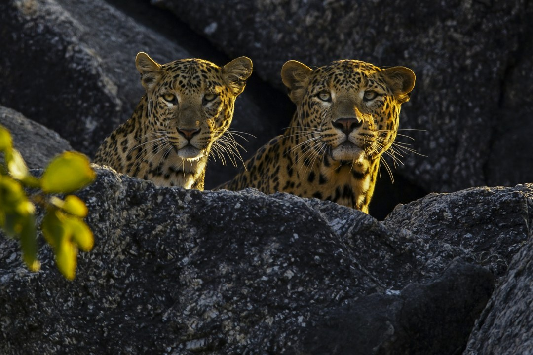 Shared Spaces: The Leopards of Jawai in Rajasthan