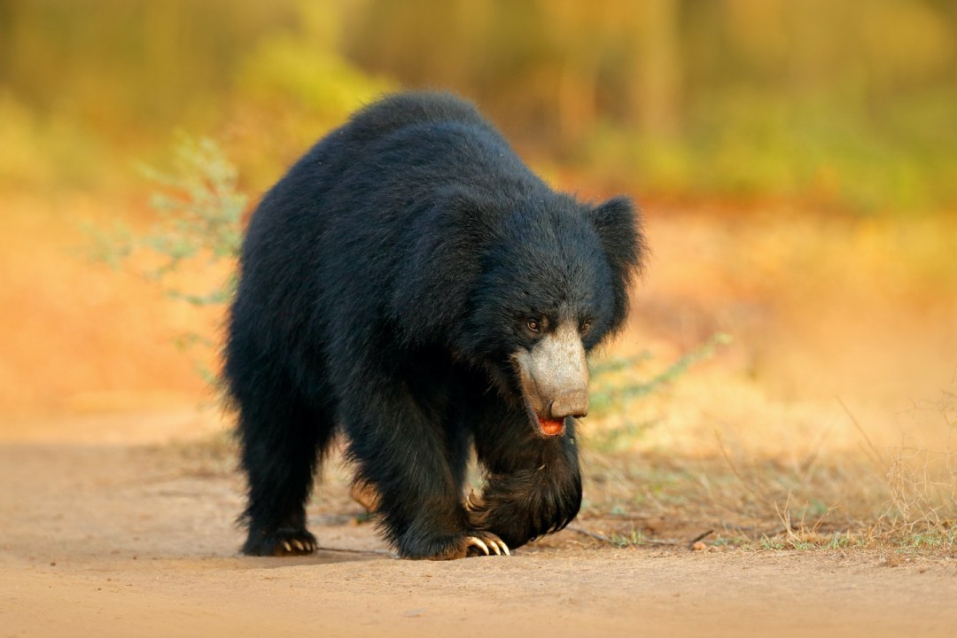 Raiders of the Anthill: Sloth Bears of Kumbalgarh