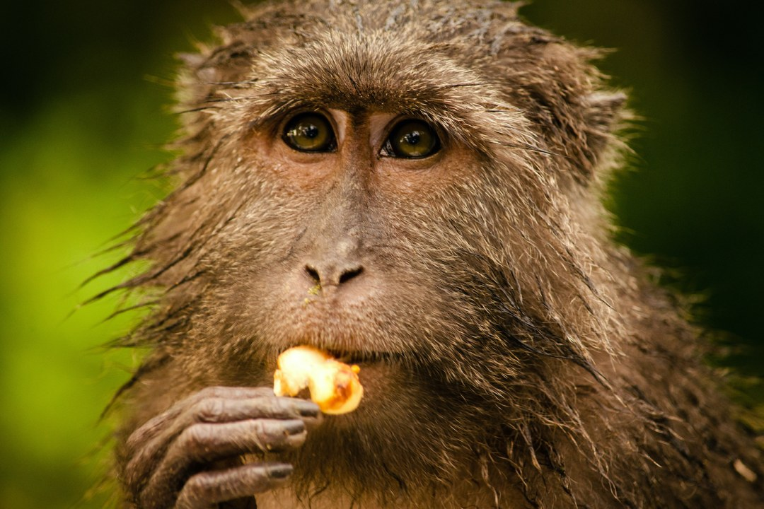 Nicobar Long-Tailed Macaque: Facts, Habitat, Diet, Threats