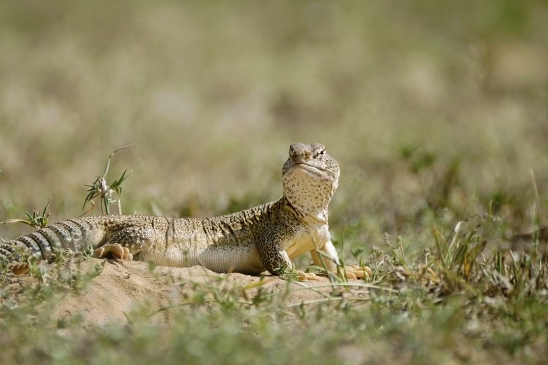 Spiny-Tailed Lizard's Day in the Sun